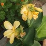 Blume4